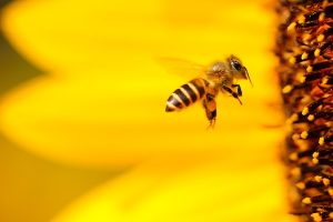 Riconoscere la differenza tra ape e vespa