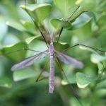 punture di zanzara