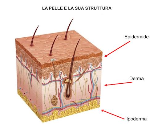 La struttura della pelle